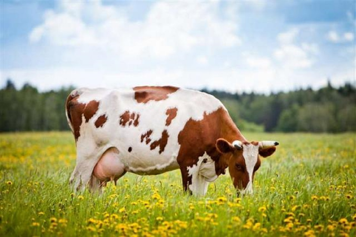 О болезни Шмалленберга у крупного рогатого скота
